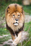Majestic lion walking. The majestic lion on a walk royalty free stock images