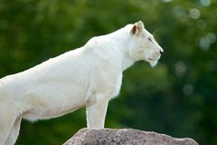 Majestic Lioness Royalty Free Stock Images