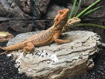 Majestic Lizard. Lizard on stone stock photos