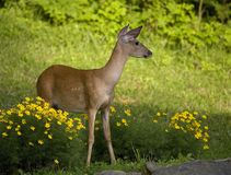 Majestic look. Whitetail doe striking a pose in a garden royalty free stock photos