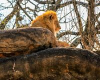 A majestic, male African lion sits atop a large rock in a zoo enclosure. royalty free stock photography