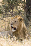 Majestic male lion. A majestic male lion looking over the Serengetti from a shaded location Stock Images