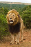 Majestic Male Lion Royalty Free Stock Image