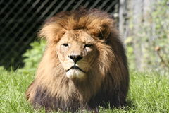 Majestic Male Lion. A Majestic Male Lion, basking in the afternoon sun stock image