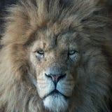 Majestic male lion Stock Photo