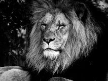 Majestic Male Lion Face Closeup, in Black and White. Closeup to the face of a majestic male lion, in black and white royalty free stock photos