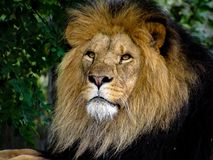 Majestic Male Lion Face Closeup. Closeup to the face of a majestic male lion stock photo