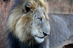 Majestic male lion. This huge male lion was photographed in the Kruger National Park in South Africa. Just woken up with dead grass still on face. Intense look stock images