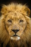 Majestic male lion portrait. Closeup of a majestic male lion looking straight at the camera stock image