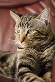 Majestic Male Tabby Stock Photography