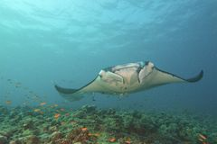 Majestic Manta. Flies through the water Royalty Free Stock Photography