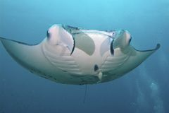 Majestic Manta Royalty Free Stock Image
