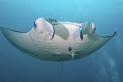 Majestic Manta. Flies through the water Royalty Free Stock Image