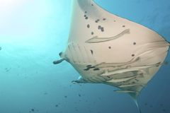 Majestic Manta Royalty Free Stock Images