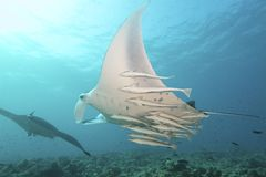 Majestic Mantas. Flies through the water Royalty Free Stock Photos