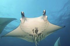 Majestic Mantas. Flies through the water Royalty Free Stock Photo