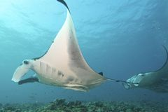 Majestic Mantas. Flies through the water Royalty Free Stock Photography