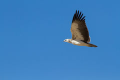 Majestic martial eagle flying holding Royalty Free Stock Image