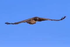 Majestic martial eagle flying while hunting blue Kalahari sky Royalty Free Stock Photos
