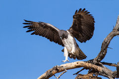 Majestic martial eagle landing on dead tree Royalty Free Stock Image