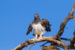 Majestic martial eagle landing on dead tree Royalty Free Stock Images