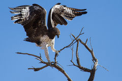 Majestic martial eagle landing on dead tree after long flight in Royalty Free Stock Photography