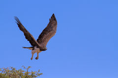 Majestic martial eagle take off from thorn tree to hunt blue Kal Stock Photography