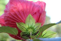 Majestic Midnight Marvel hardy hibiscus royalty free stock images