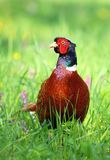 Majestic motley pheasant Stock Photos