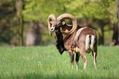 Majestic mouflon ovis musimon Royalty Free Stock Images