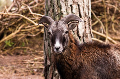 Majestic mouflon watching Stock Photos