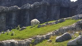 Majestic Mountain Goat stock photos