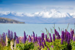 Majestic mountain lake with llupins blooming Royalty Free Stock Photo