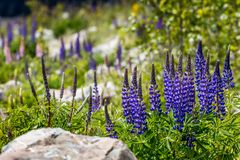 Majestic mountain with llupins blooming, Lake Tekapo, New Zealand.  Royalty Free Stock Images