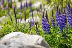 Majestic mountain with llupins blooming, Lake Tekapo, New Zealand Stock Photography