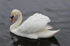 Majestic Mute Swan. A very majestic looking mute swan with beautifully displayed uplifted wings Stock Images