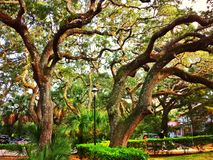 Majestic oak canopy in green. A web of oak branches spreading a green canopy over a parking lot in St Augustine, Florida Royalty Free Stock Image