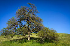 Majestic oak frames moon on blue sky Royalty Free Stock Photos