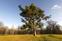 Majestic oak tree. Photograph of the majestic oak tree Stock Image