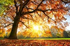 Free Majestic Oak Tree At Autumn Sunset Royalty Free Stock Photography - 159835937