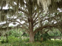 Majestic oak tree Stock Photos