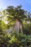 Majestic old big tree during daytime Royalty Free Stock Image