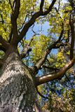 Majestic old oak tree with large tree trunk and formidable branches royalty free stock photo