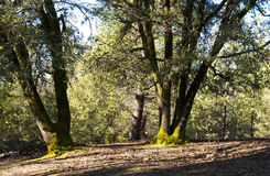 Majestic Old Oaks with Mossy Trunks Royalty Free Stock Photography