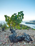 Majestic old vineyards. Vineyard with the Mediterranean Sea in the background Stock Photo