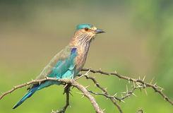 The Majestic One. Indian Roller earlier called Blue Jay sitting on a perch Stock Images