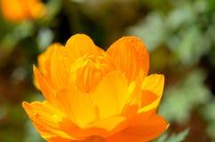 Majestic orange wildflower in summer sunshine closeup Royalty Free Stock Photos