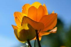 Majestic orange wildflower in summer sunshine closeup Stock Photos