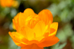 Majestic orange wildflower in summer sunshine closeup Stock Photography