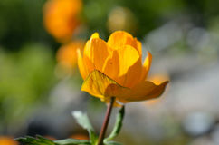 Majestic orange wildflower in summer sunshine closeup Stock Photo